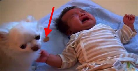 how to comfort a crying baby dog tries to comfort crying baby in the most adorable way