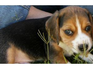 puppies for sale in tulsa pocket beagles for sale colorado breeds picture