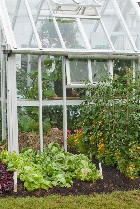 Vegetable Garden Greenhouse Green House Tomatoes And Lettuce Plant Flower Stock