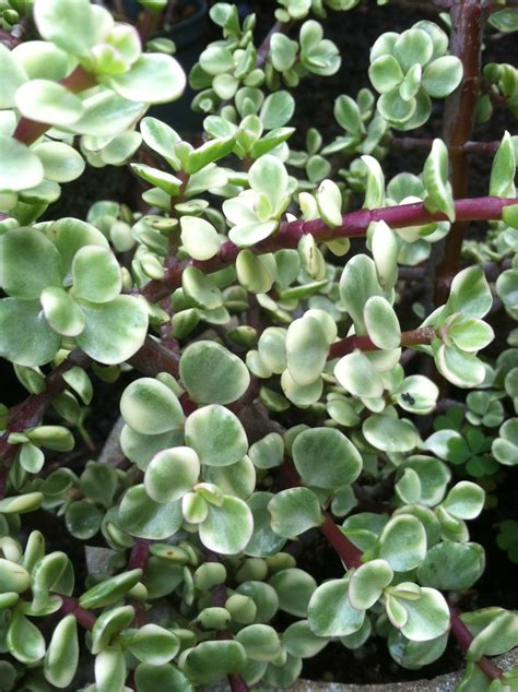 variegated mini jade plant succulents pinterest