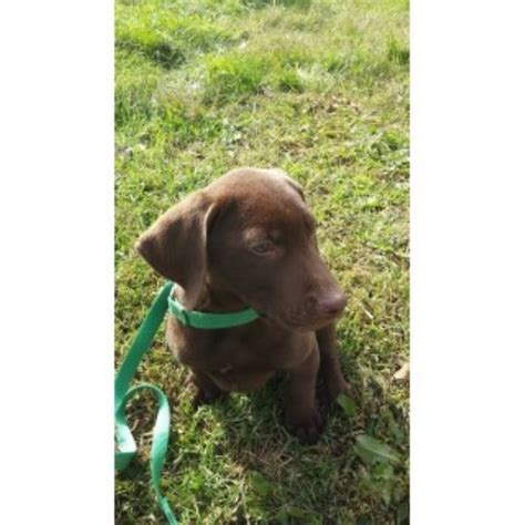 free lab puppies in indiana keiths krooked kreek kennels labrador retriever breeder in pierceton indiana