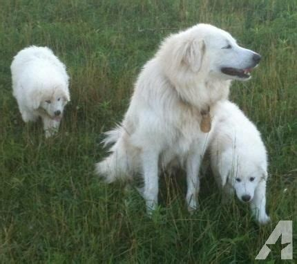 akbash puppies for sale akbash great pyrenees puppies for sale in philadelphia tennessee classified