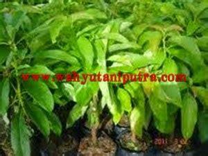 Paket 3 Bibit Buah Alpukat Mentega Unggul mengenal tanaman alpukat dan cara budidayanya bibit buah