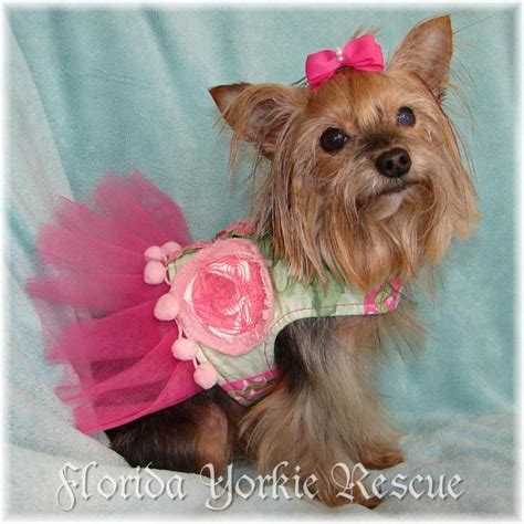where to adopt a yorkie 1000 images about we need a loving home on adoption the villages and yorkie
