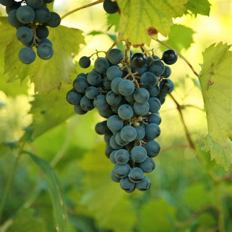 buy chambourcin grape vines for sale double a vineyards