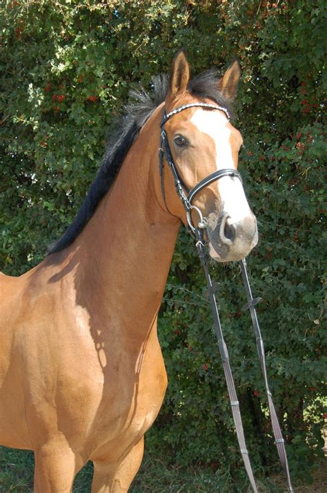 horses for sale uk horses for sale equisol co uk