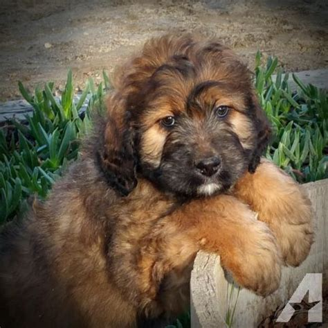 berdoodle puppies for sale the 25 best ideas about st berdoodle on bernadoodle golden doodles and