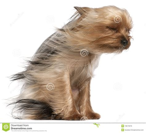 yorkies with hair terrier with hair in the wind stock photo image of hair 19573376