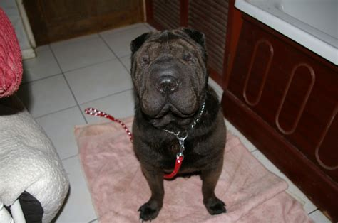 shar pei puppies for adoption shar pei rescued from serbia 3yrs healthy ludlow shropshire pets4homes