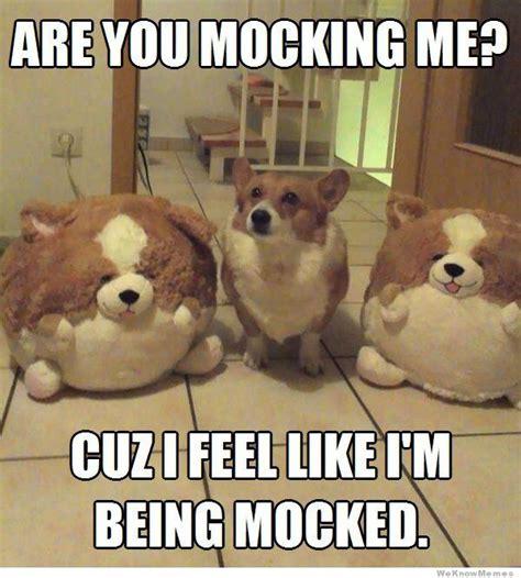 Funny Corgi Memes - are you mocking me corgi memes