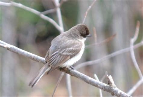 easy ways to learn bird songs frankie flowers grow