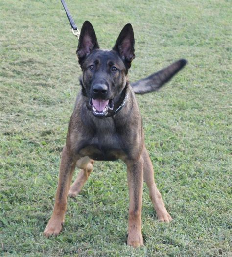 belgian malinois german shepherd mix belgian malinois shepherd mix quotes