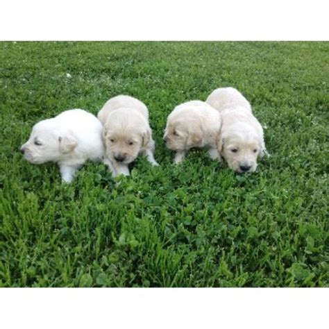 golden retriever breeders kentucky cole s goldens golden retriever breeder in cartersville