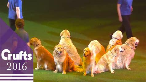 southern golden retriever display team southern golden retriever display team crufts 2016 funnydog tv