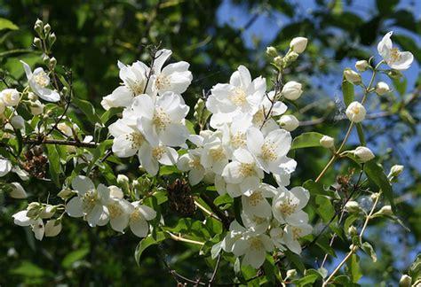 Mock Orange Flickr by Mock Orange A Beautiful Oregon Plant Blooming