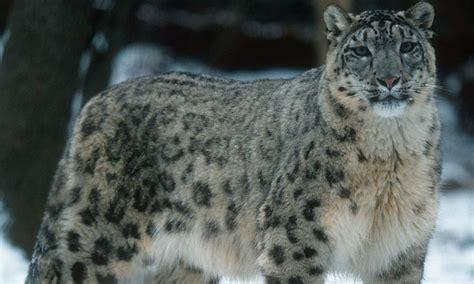 reset nvram snow leopard gray wolf runs the gauntlet