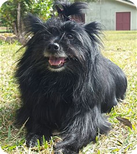 cairn terrier pomeranian mix denham springs la pomeranian cairn terrier mix meet lizzie a for adoption