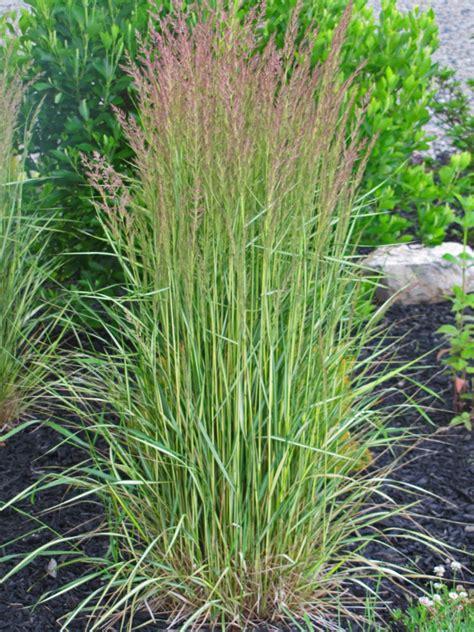 calamagrostis feather reed grass el dorado an obsessive neurotic gardener