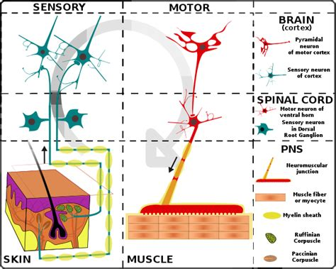 sensory motor and mixed nerves neuroscience can the sensory neuron network and the