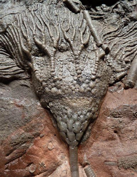 Fossil Jaynice crinoid sea fossil a large prehistoric sea of