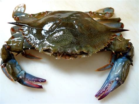 great year for soft shell crab cravedfw