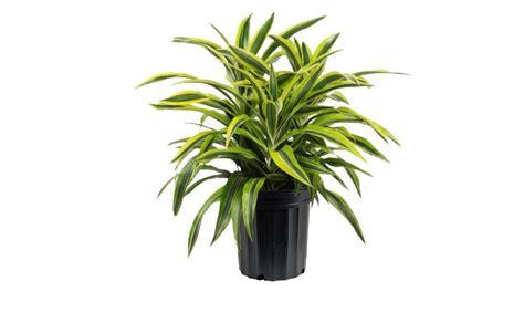 piante ufficio pianta da ufficio curiositau da ufficio with pianta da