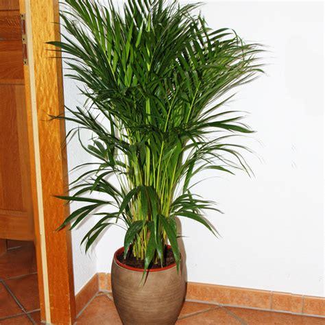 goldfruchtpalme wohnzimmer zimmerpalme chrysalidocarpus lutescens areca palme