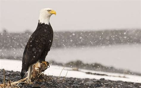 wallpaper iphone eagle free bald eagle wallpapers wallpaper cave
