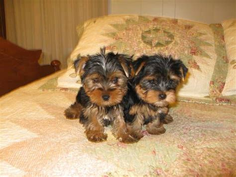 9 week yorkie ckc terrier puppy 8 and 9 weeks yorkies and other babies