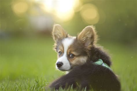 corgis that are adorably in seizures in puppies understanding epilepsy in dogs