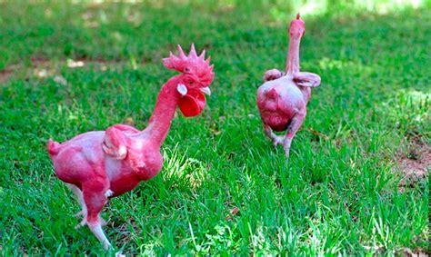 imagenes animales con plumas los pollos sin plumas quot listos para cocinar quot