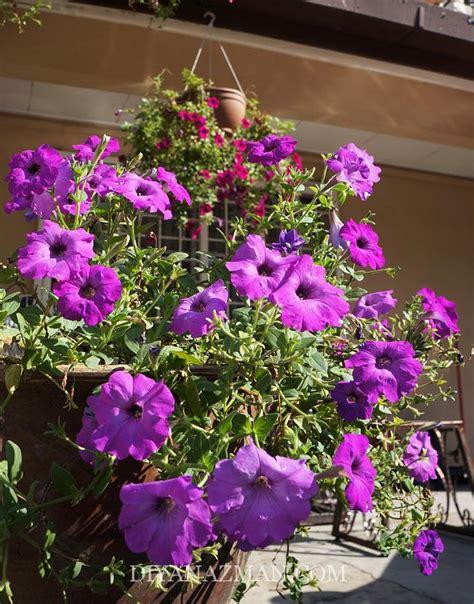 Biji Bunga Petunia cara tanam bunga petunia dari biji benih diyanazman