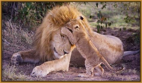 imagenes leones tiernas ver im 225 genes de leones bebes archivos imagenes de leones
