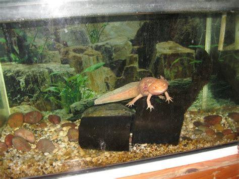 Cool Log Homes by Axolotl Tank Axolotl Pinterest