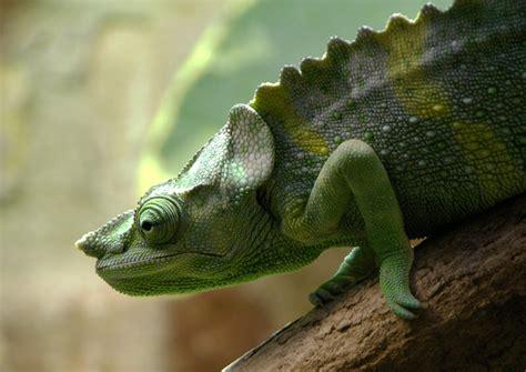 The Chameleon by Meller Chameleon The Animals Kingdom