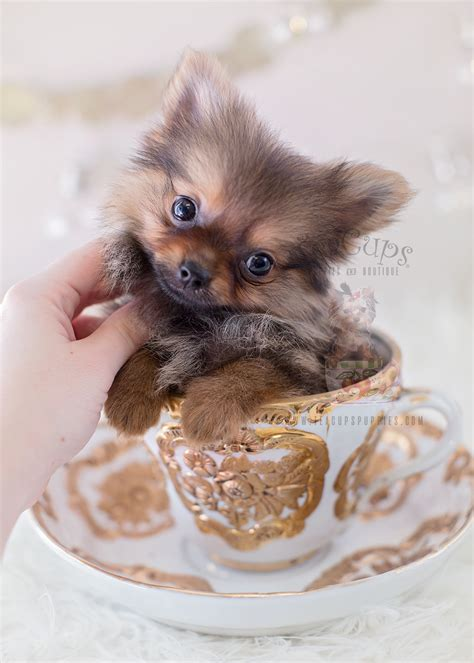 tiny teacup pomeranian puppies for sale tiniest teacup yorkie puppy for sale teacups puppies