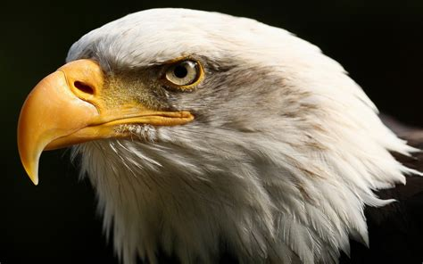 eagle tattoo wallpaper adelaar achtergronden hd wallpapers