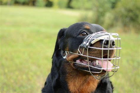 rottweiler muzzle buy rottweiler muzzle uk wire muzzle for large breeds 163 28 60