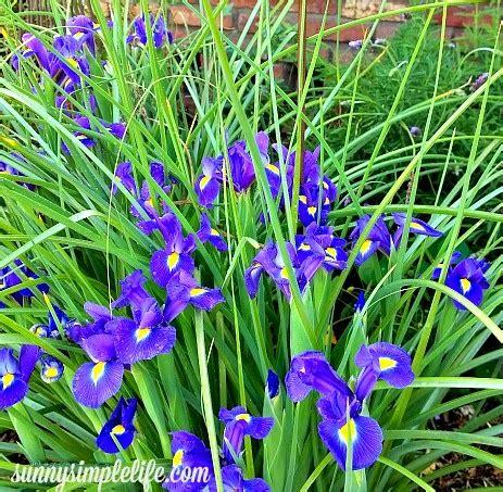sunny simple life easy flower gardening growing dutch iris