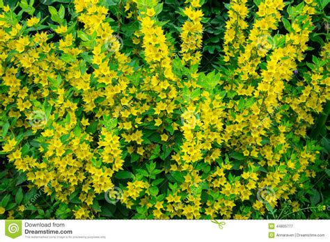 green shrub with yellow flowers small and yellow flowers stock photo image 44805777