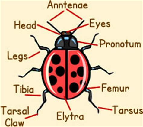 ladybug diagram ladybird anatomy diagram picture of ladybug anatomy