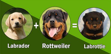 labrador rottweiler cross top 10 rottweiler cross breeds mix breeds
