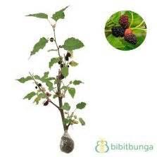 Benih Miracle Fruit Miracle Berry tanaman miracle fruit buah ajaib