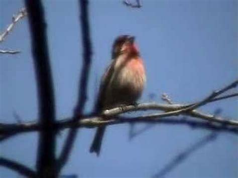 house finch singing house finch singing his heart out youtube
