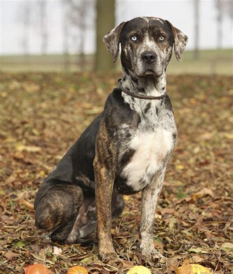 catahoula leopard puppy 10 cool facts about catahoula leopard dogs catahoula leopard