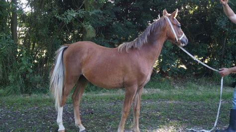 welsh section b welsh section b yearling colt skegness lincolnshire