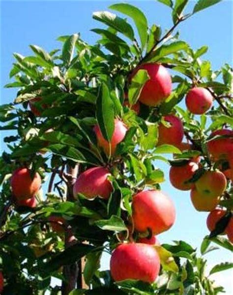 trees bearing fruit fruit bearing tree1