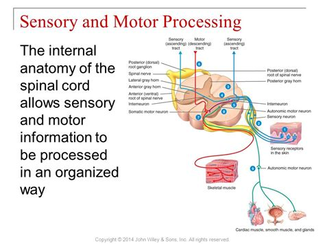 motor and sensory principles of anatomy and physiology ppt