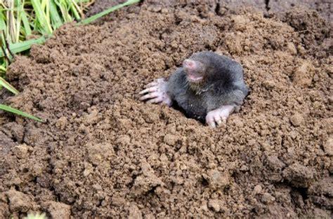 Garden Mole by Mole On
