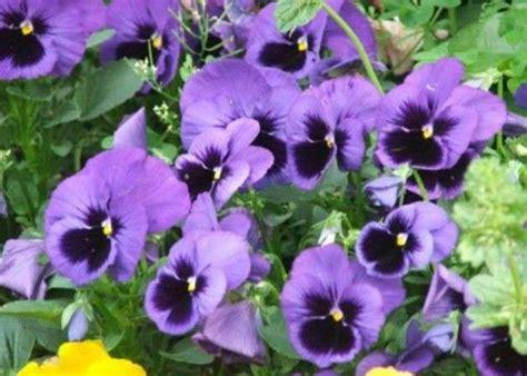 piante da terrazzo invernali piante invernali da balcone le pi 249 resistenti al freddo